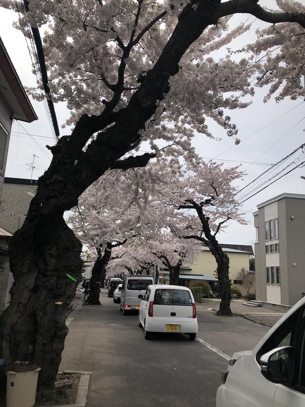 桜が丘通りの桜並木
